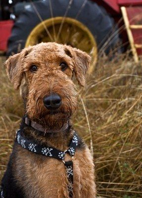My family had an Airedale when I was young & he was such a great family dog