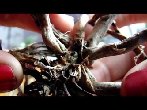 Не выбрасывайте пенечки орхидей!!! - YouTube