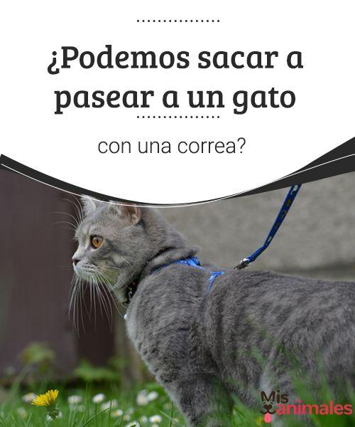 ¿Podemos sacar a pasear a un gato con una correa?  Pasear a un gato con correa o no es algo que cada dueño de un gato debe responderse, aunque te contamos por qué y te orientamos hacia la mejor decisión. #pasear #gato #decisión #adiestramiento