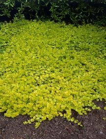 Creeping Jenny comes back every year and keeps out the weeds.