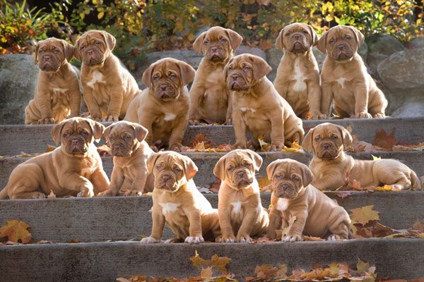 This photographer should win some kind of award - I wonder how long this shoot took!  Ha!   The Vinyard Dogue de Bordeaux