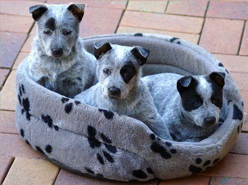 Австралийская короткохвостая пастушья собака (Australian Stumpy Tail Cattle Dog) - описание породы собак - щенки