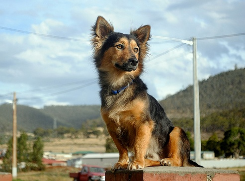 Corgi x German Shepard | I wouldn't have believed it but I saw one and it was adorable