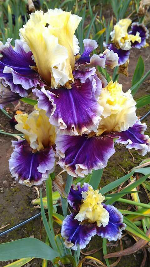 Tall Bearded Iris 'Carnival Capers'                                                                                                                                                                                 Mais