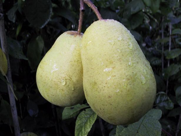Pear tree 'Tshizhovskaja'