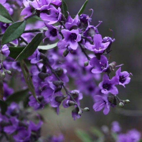 Prostanthera ovalifolia - oval-leaf mint bush