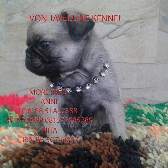 Jual Anak Anjing PUG  1 MALE  DOB 17 MARET 2016  -Stamboem On Progress -Vaksin -Obat cacing teratur  More info : Anni PIN BB 51A22388 Whatsapp 081572985289  Nita PIN BB 5C744007  NO SMS,NO PHP SERIUS BUYER ONLY  Available video and pic for seriously buyer  Terima kirim keluar kota (garansi hidup sampai tujuan) ongkir ditanggung Buyer  www.vonjavellinekennel.wordpress.com www.breederanjingras.blogspot.com www.facebook.com/VonJavellineKennel  Gabung di BBM channel C00160FF7