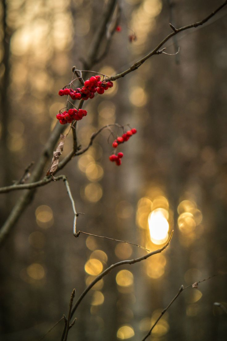 Red mountain ash  #red #forest #sunset #bokeh