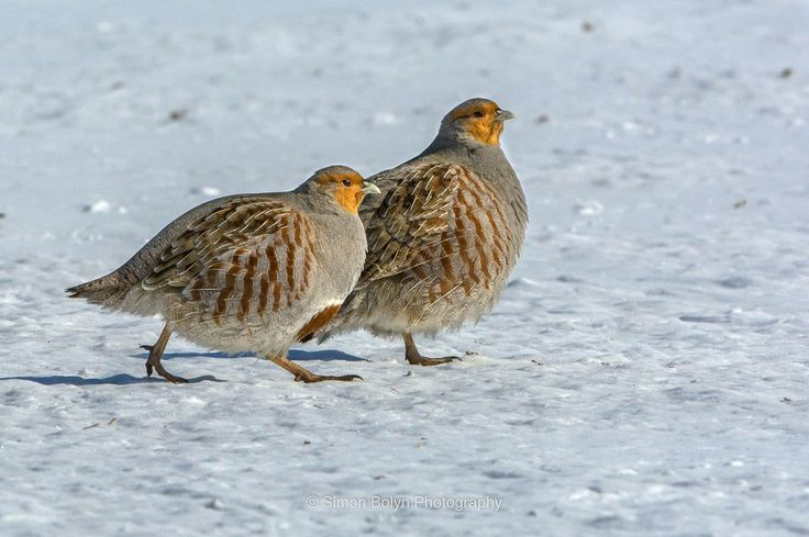 Perdix perdix/Grey Partridges/ヨーロッパヤマウズラ