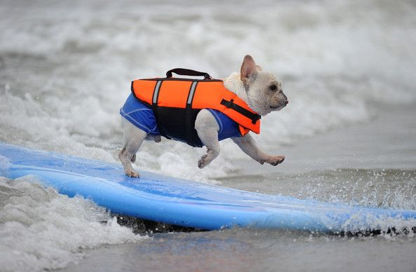 cute!: Hb Dogs, French Bulldogs, Surfer Dudes, Dogs Pictures, Surfing Frenchi, The Waves, Dogs Beaches, Flying Frenchi, Dogs Surfing