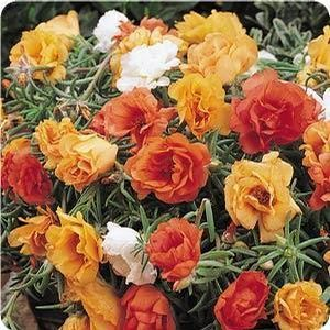 17 best images about portulaca moss rose on pinterest for What to mix with tequila rose