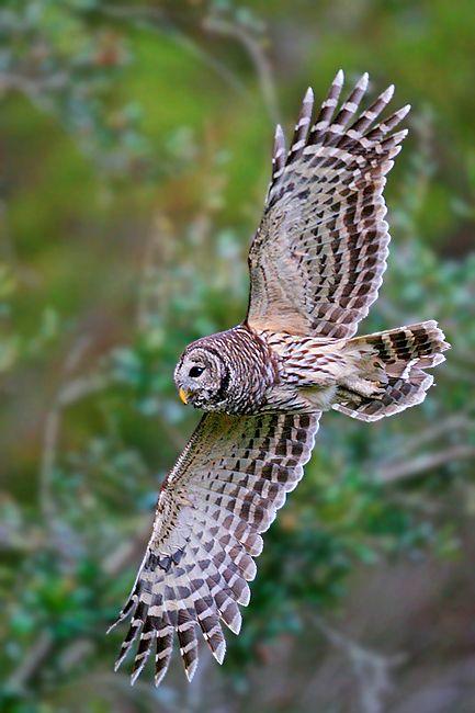 Google Image Result for http://www.flightschoolphotography.com/Workshops/FSP%2520Winter%2520Workshops/Winter-Barred-Owl-1.jpg