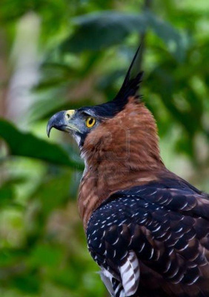 Aguila crestada, en peligro de extinción   Jungle ...