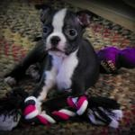 Ruby the 11 weeks old Boston Terrier Puppy