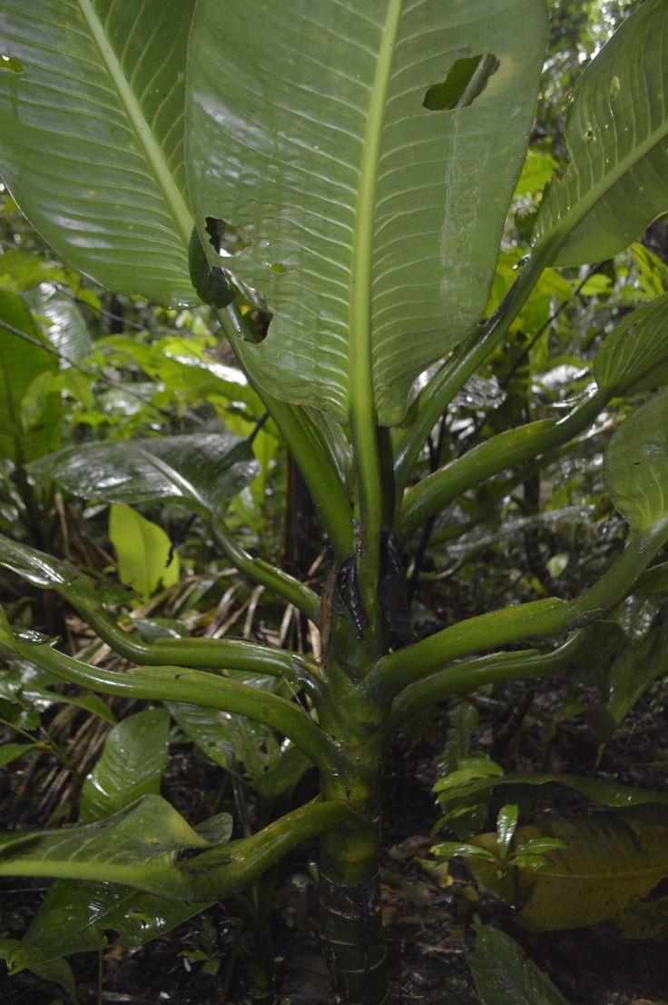 Los tallos de las plantas selváticas de la Sede de Estudios Ambientales y Agroecológicos- Tulenapa
