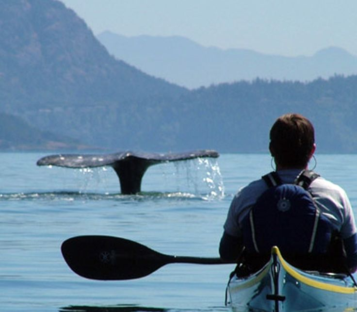kayak with orcas in the san juan islands Washington