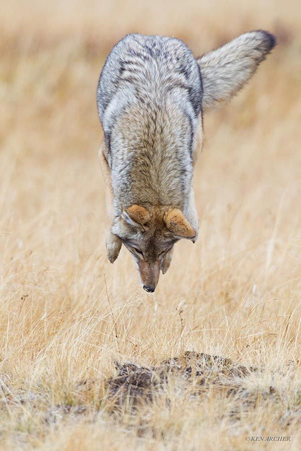 High Flying Coyote - Most Beautiful Pictures