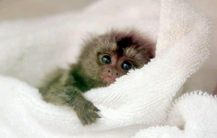Pygmy marmoset | The animal kingdom | Pinterest | Pygmy ...  Pygmy marmoset ...