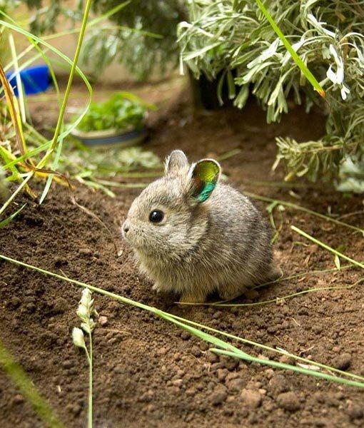 Kelinci pygmy, hewan paling lucu di dunia, hewan lucu