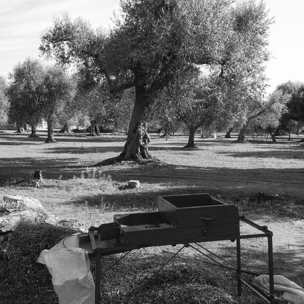 Raccolta delle olive nel Salento