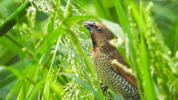 little brown bird eatingscalybreasted munia
