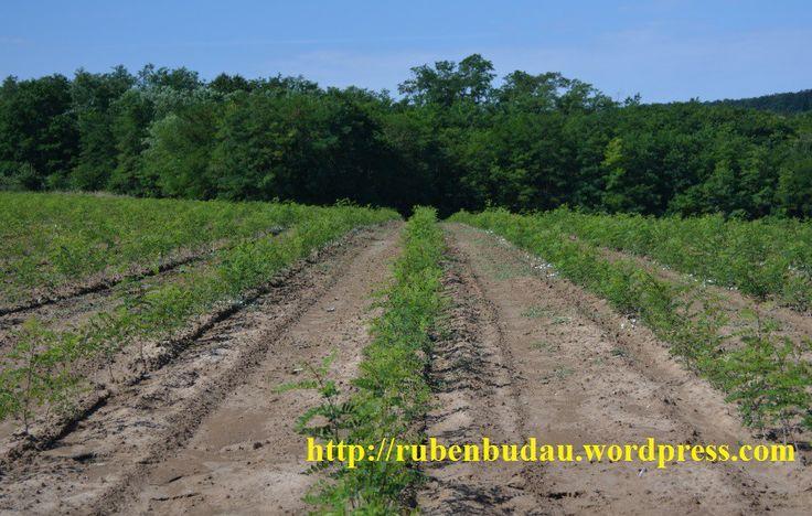Privire de ansamblu din plantația energetică de salcâm după primele 30 zile de vegetaţie de la plantare.