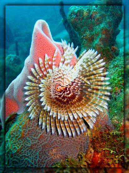 Magnificant Featherduster Worm - ©Barb Makohin
