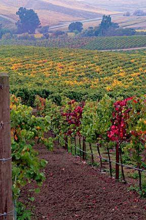 Napa Vineyard.  Napa-Sonoma, California.  ASPEN CREEK TRAVEL - karen@aspencreektravel.com