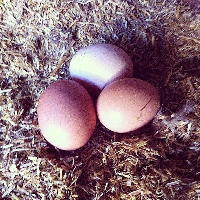 #dagensfangst indtil videre, vi kvitterer med en ren #hønsegård i #solskin #forårpåvej