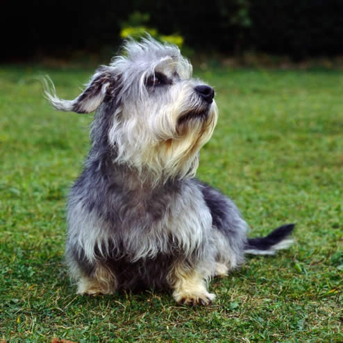 Small Breeds Of Dogs With The Letter P