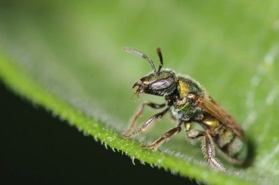 Sweat Bees In Gardens: Tips For Sweat Bee Control -  Sweat bees are often seen flying around the garden with a heavy load of pollen on their back legs. Don't let the fear of sweat bee stings keep you out of your garden. Find out how to control sweat bees and avoid stings in this article.