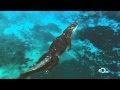 Video - Mosasaurus - Binatang Karnivora Laut Prasejarah Terbesar - Bagian 2