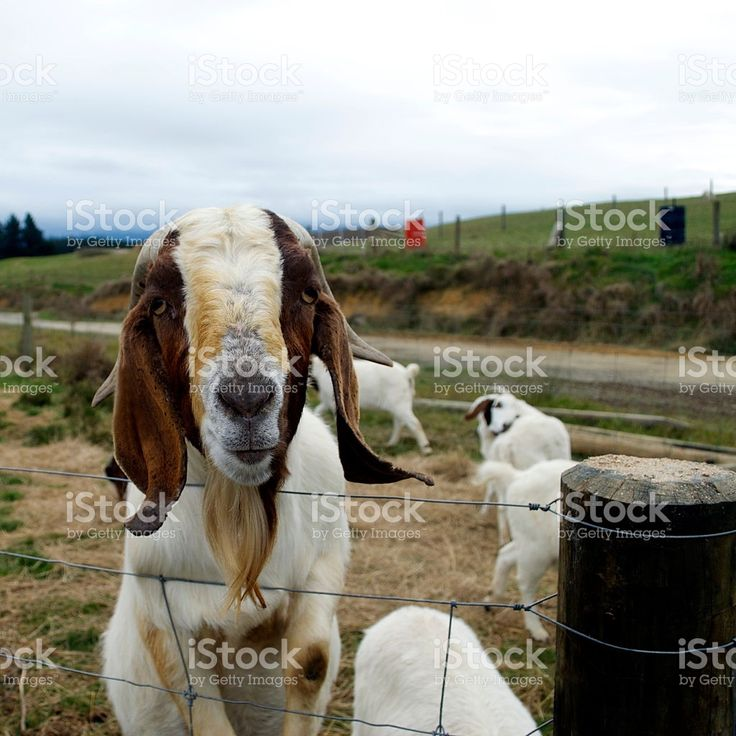 Boer Goats (Rare South African Breed) royalty-free stock photo
