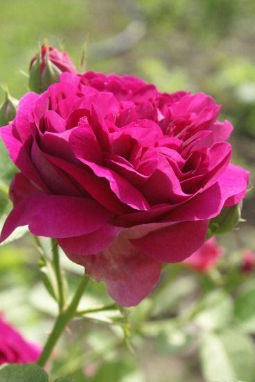 Цветущая роза
