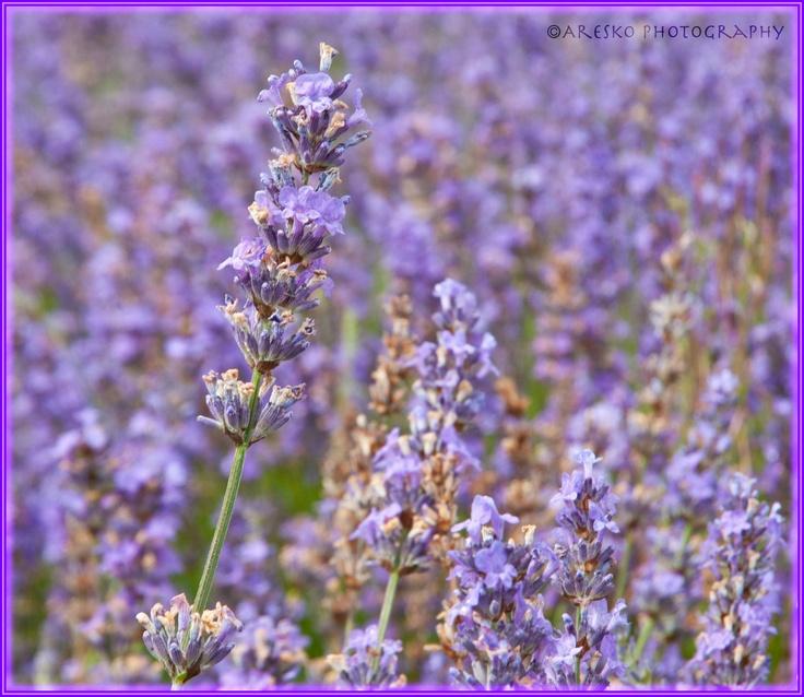 Lavender fields at Shoreham.  Breathtaking!
