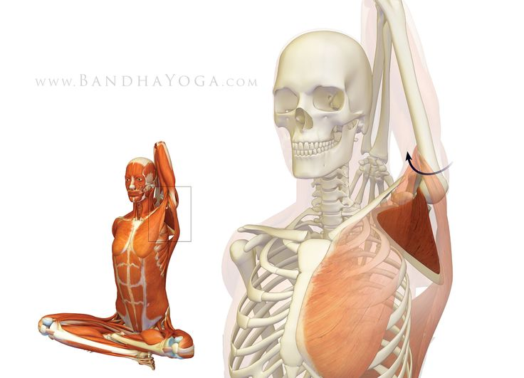 The Daily Bandha: Shoulder Biomechanics, Part I: The Subscapularis Muscle