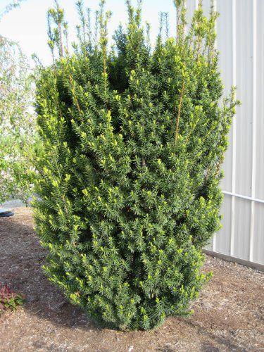 Hicks Yew (Taxus X Media 'Hicksii'), 2015 Amazon Top Rated Shrubs #Lawn&Patio