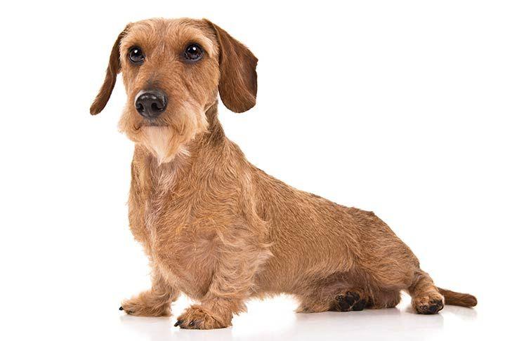 Dachshund Dog Breed Information Dachshund Dog Hound Dog Breeds