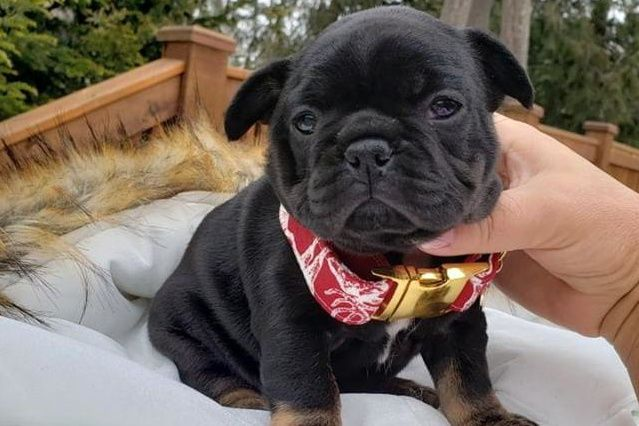 French Bulldog Breeder Luxurious French Bulldogs French