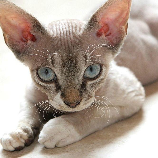 Cornish Rex Devon Rex Selkirk Rex Cat Breeds | CatBreedsPic