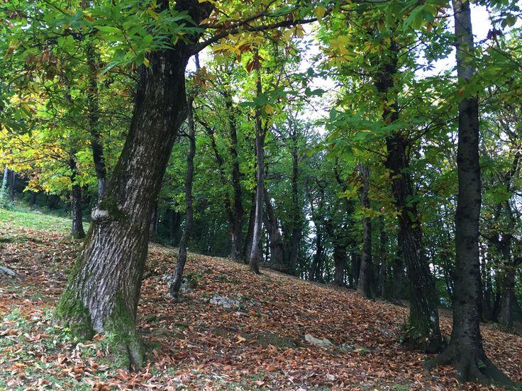 Andar per castagne - Sono andata per castagne, in Valcavallina: http://www.stellapederzoli.it/andar-per-castagne/