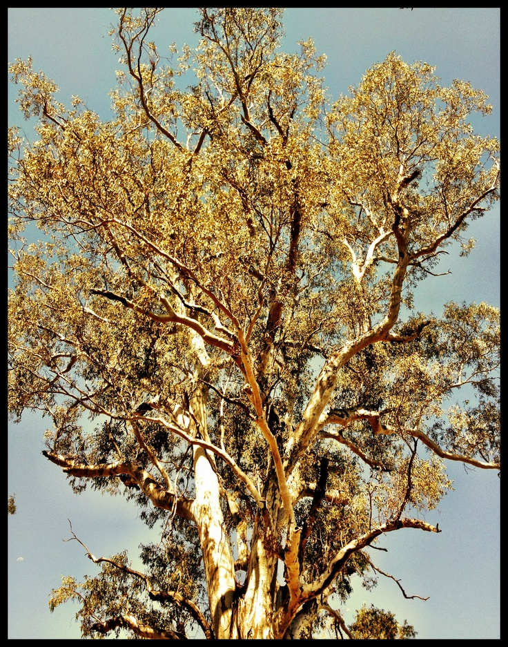 A huge River Red Gum on Bungil Creek ~ Roma. This River Red Gum (Eucalyptus camaldulensis) is over 300 years old.