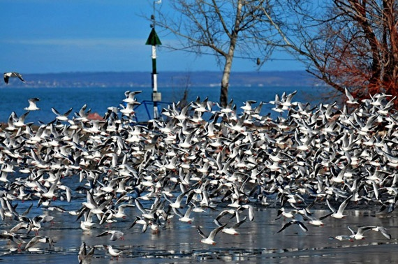 Sea Gulls of Lake Balaton (the Hungarian Sea)