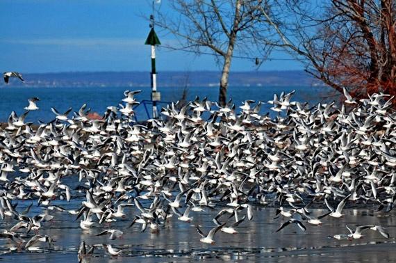 Sea Gulls of Lake Balaton (the Hungarian Sea)
