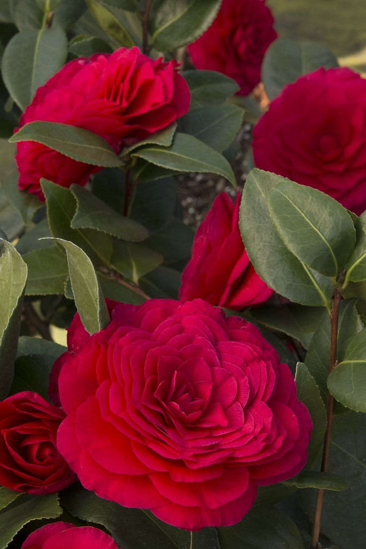 Nuccio's Bella Rossa Camellia would make a perfect hedge. Its glossy, dark green foliage and abundance of formal, four-inch, crimson red blooms open slowly over a long period for an especially long bloom season. Zone 8-10