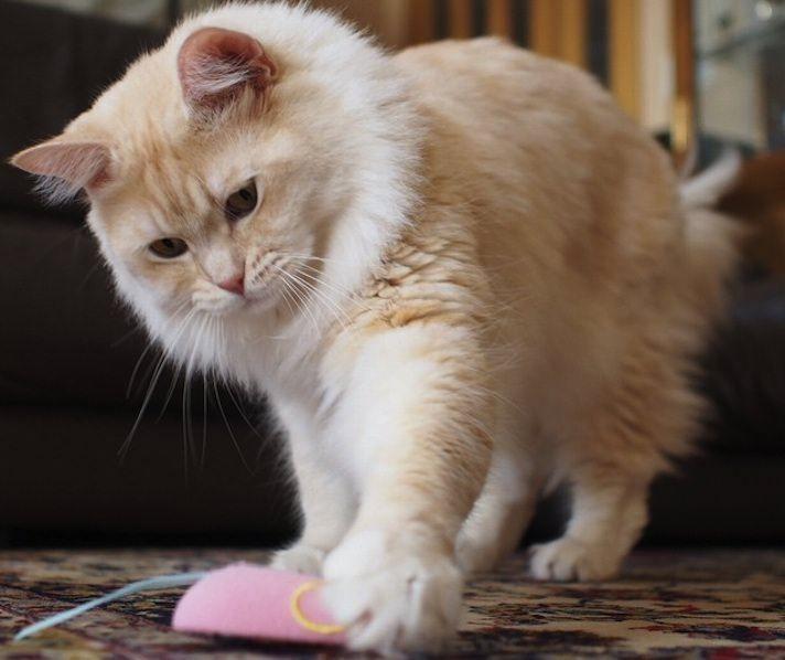 Top 10 Kid Friendly Cat Breeds Fluffy Cat Breeds Cat Breeds