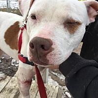 Whitestone, New York - American Staffordshire Terrier. Meet Bella (Bonded Pair), a for adoption. https://www.adoptapet.com/pet/17477236-whitestone-new-york-american-staffordshire-terrier-mix