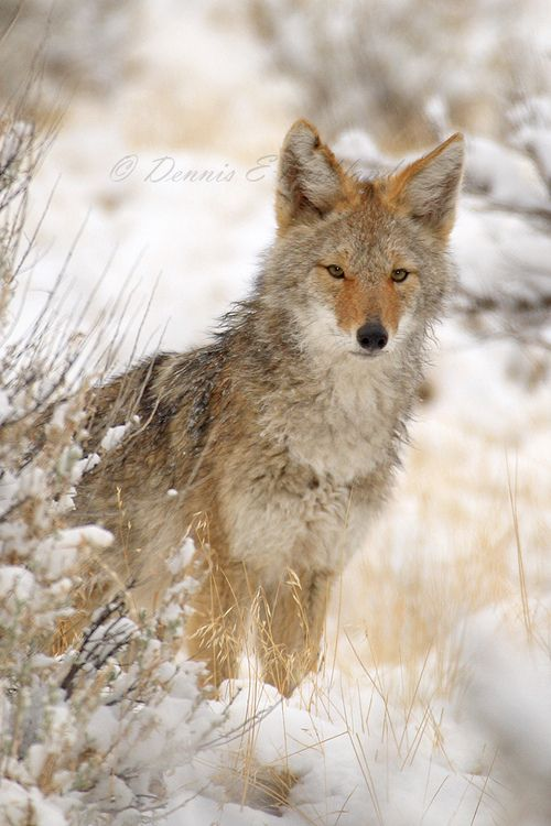 Coyote | Animals Friends | Pinterest