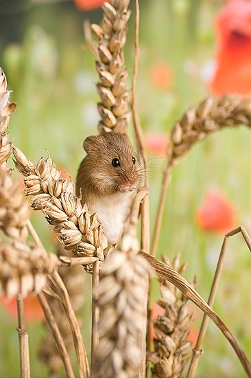 Harvest mouse in wheat and poppies