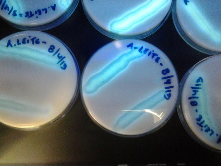 Pseudomonas em agar leite - analise de agua mineral
